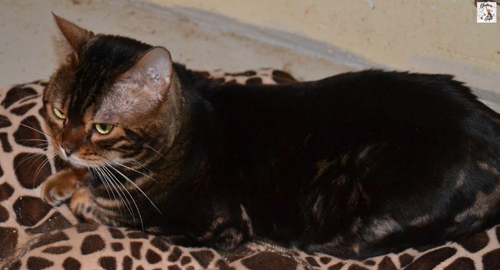 Bengal - Monarc cats eyes bengals