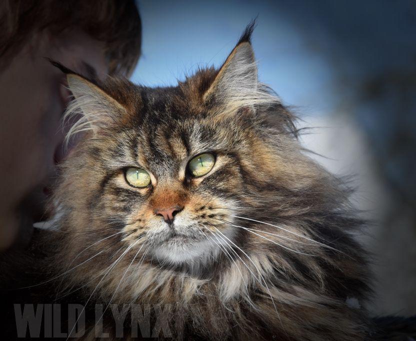 Maine Coon - Wild Lynx Lou-ange
