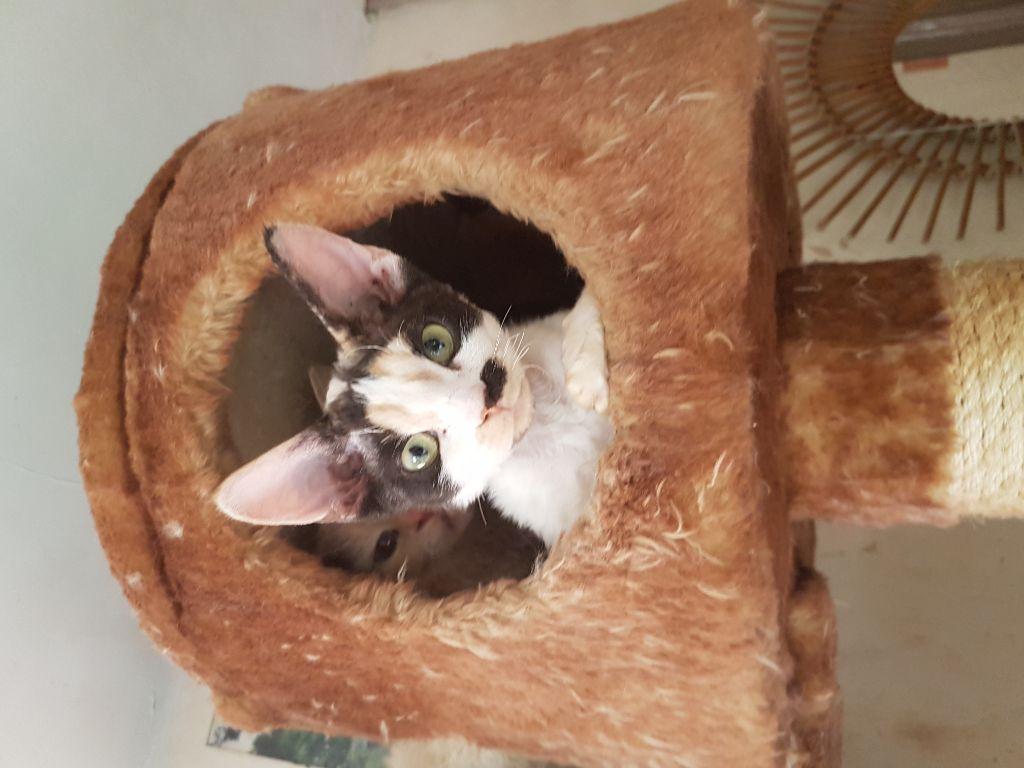 Les Devon Rex de l'affixe of my dream's cats