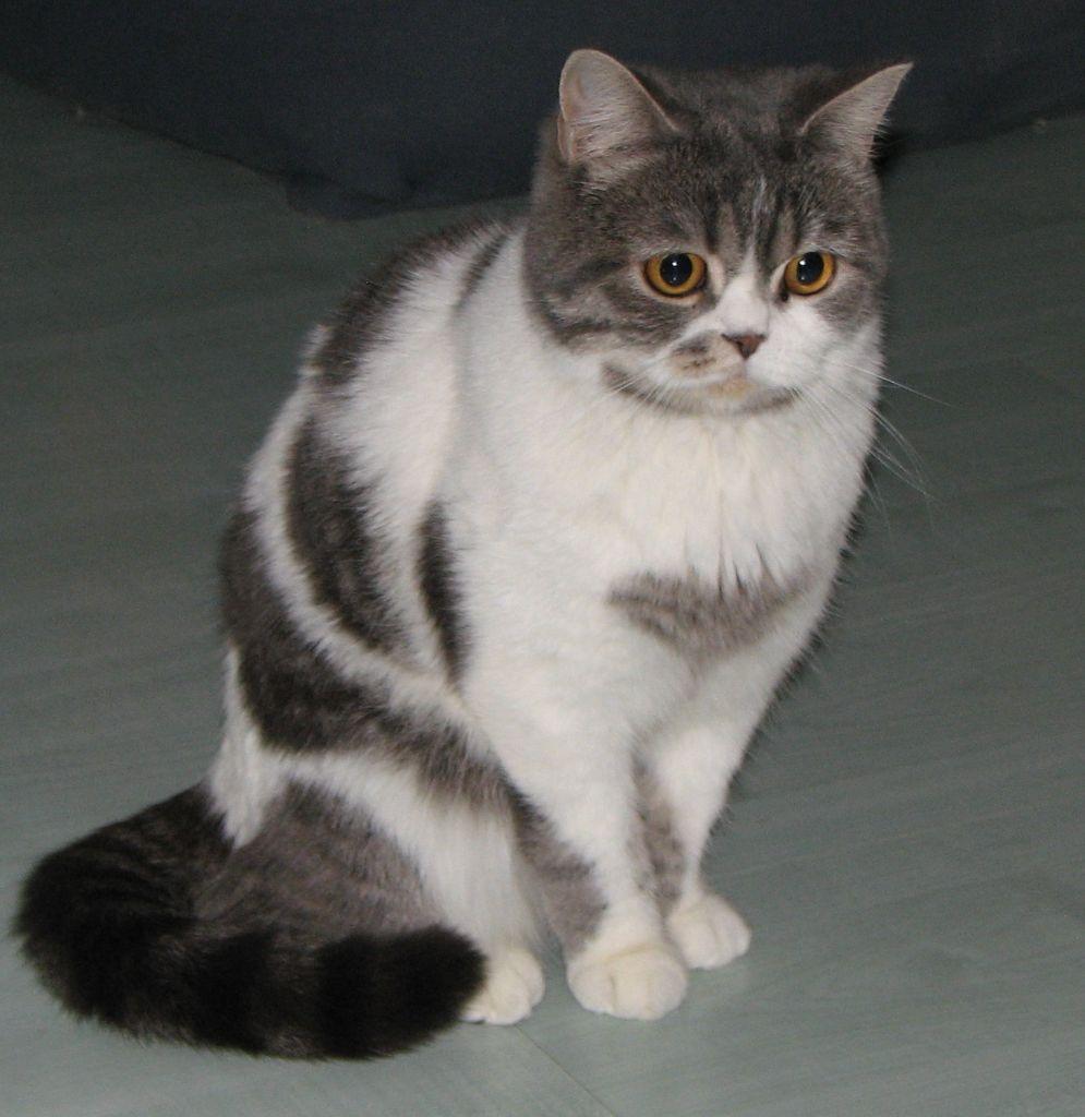 Scottish Straight - Venezia gem cat