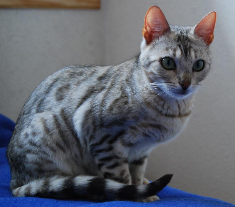 Saphirs de lune diva of griffes de feu chat de race toutes - Couper les griffes d un chaton de 2 mois ...