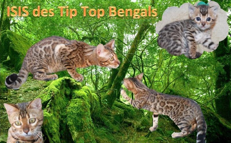 Isis Des Tip Top Bengals