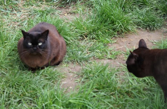 Burmese Americain - cat'y mini jungle's Darla dirla dada