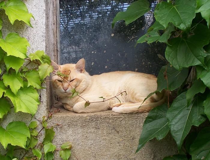 Burmese anglais (Burmilla...) - cat'y mini jungle's diablo