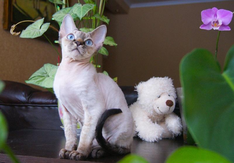 Devon Rex - Bodygard gatto bellissimo