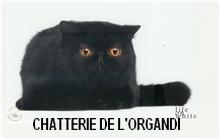 Les Exotic Shorthair de l'affixe De L'organdi