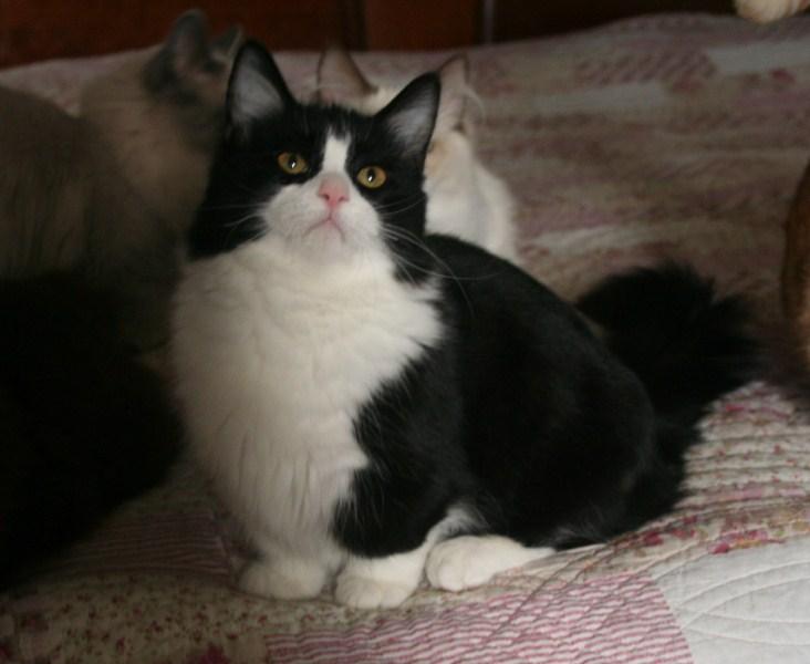Beliebt CH. G'anakin de la Belle Cajun chat de race toutes races en tous  LU92