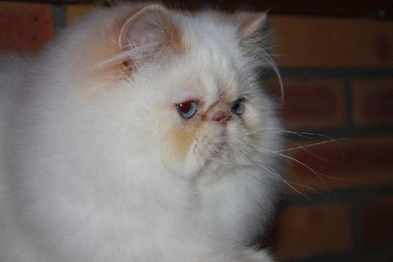 Persan - Ell boy Des Darling Cats