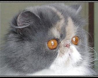http://www.chats-de-france.com/photo/chats/t_chat/chats-Persan-e3570026-cc6d-0b44-3973-68c1cd252d6c.jpg