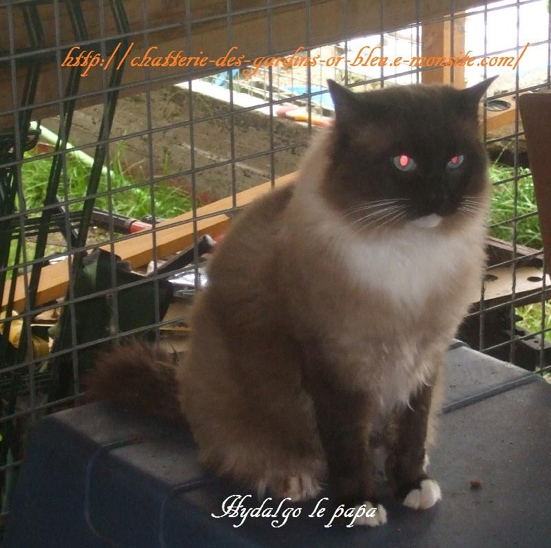 Ragdoll - Hydalgo Meow Meow