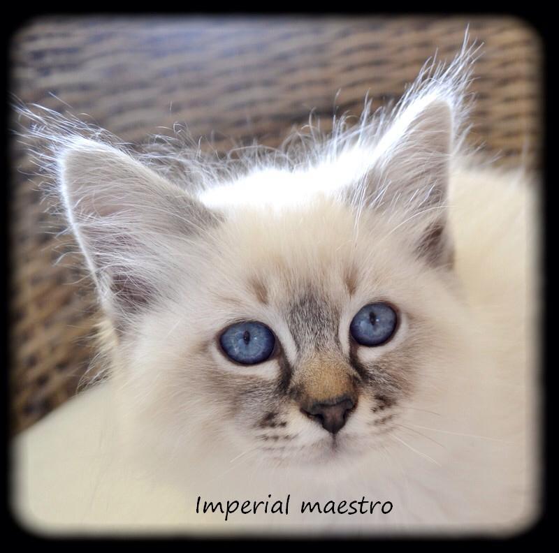 Imp rial maestro du jardin d 39 iroise chat de race toutes for Dujardin imperial