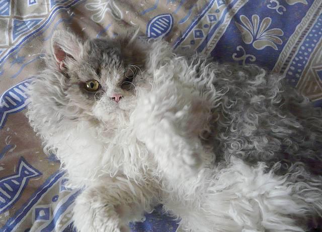 Les leveurs de chats et de chatons de race s 39 unissent - Gant pour poil de chat ...