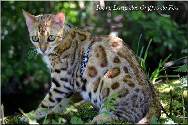 Ivory lady des griffes de feu chat de race toutes races en - Couper les griffes d un chaton de 2 mois ...