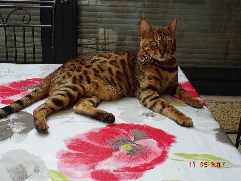 Bengal - Cat's Cradle Mia