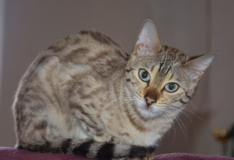 Les Bengal de l'affixe Wild Lynx