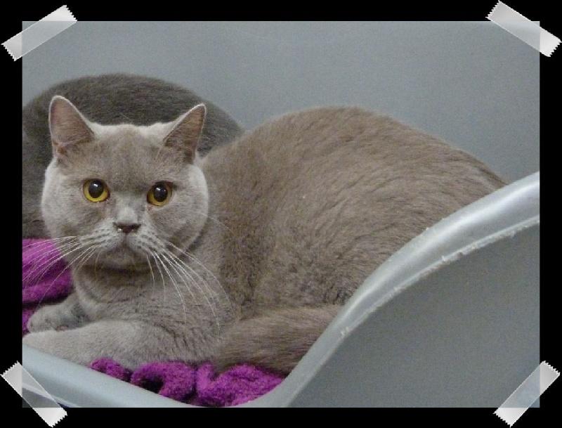British Shorthair et Longhair - Loubyana Du Paradina's Cats