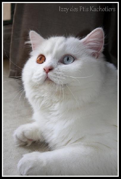 British Shorthair et Longhair - Izzy Des Ptis Kachotiers