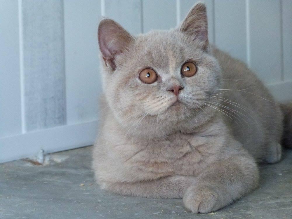 British Shorthair et Longhair - vox felis Merveille