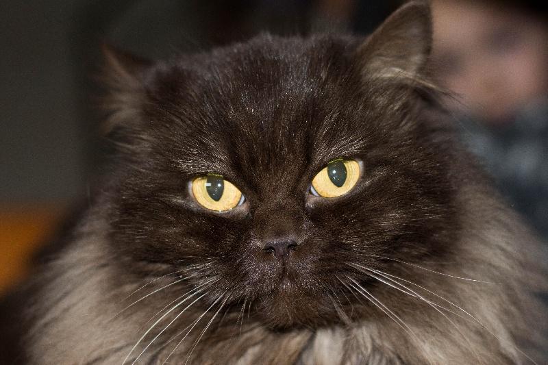 Les Highland Straight de l'affixe Of Englli'Cats