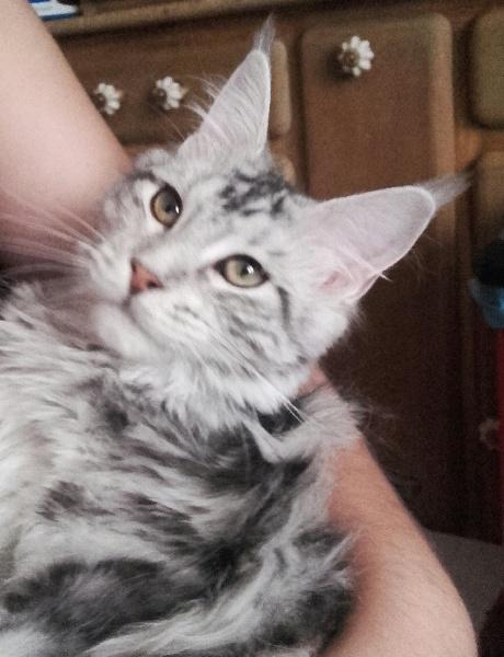 Les Maine Coon de l'affixe D'Ally Cat Coons