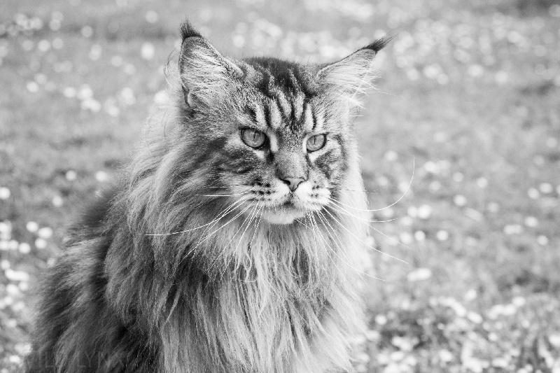 Les Maine Coon de l'affixe Wild Lynx