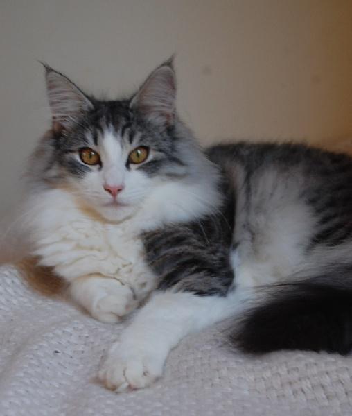 Norvégien - Forest Cat Lily