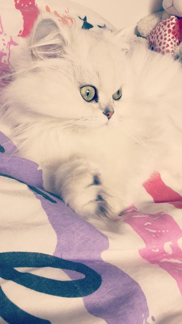 Persan - Jinie Lover's Kitten