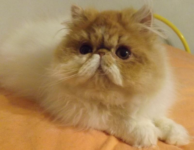 Persan - Eight's Cats Liz taylor
