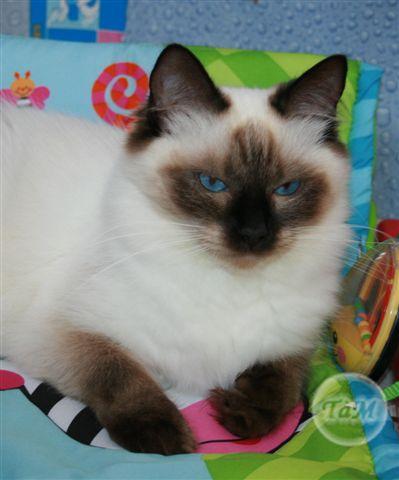 Ragdoll - Hanaé Les Cat's à Malice