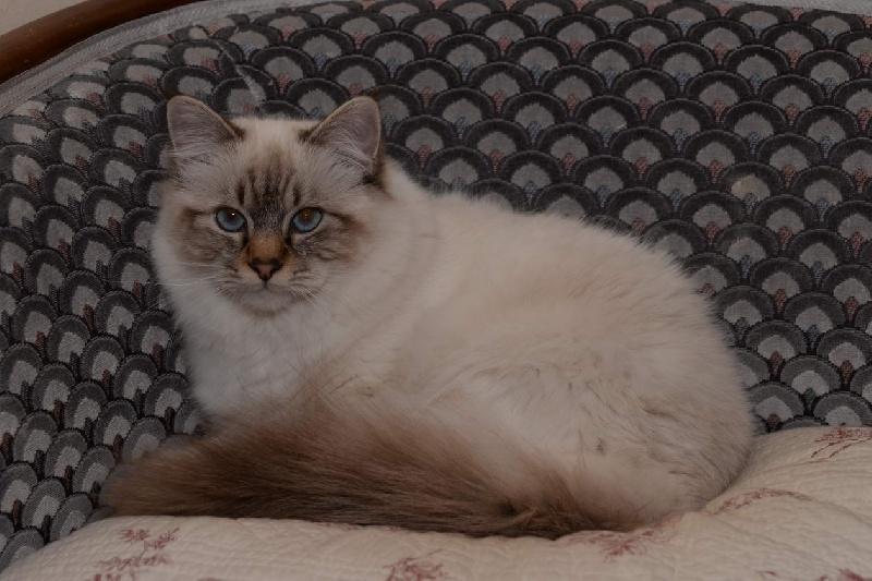 Sacré de Birmanie - Jazzy Cat de pat and co
