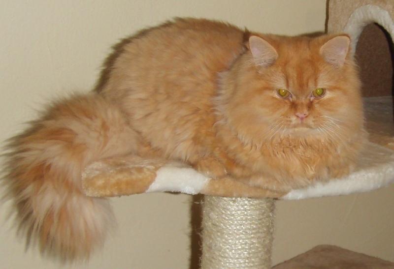 Scottish Fold - Cat's Cradle Justin