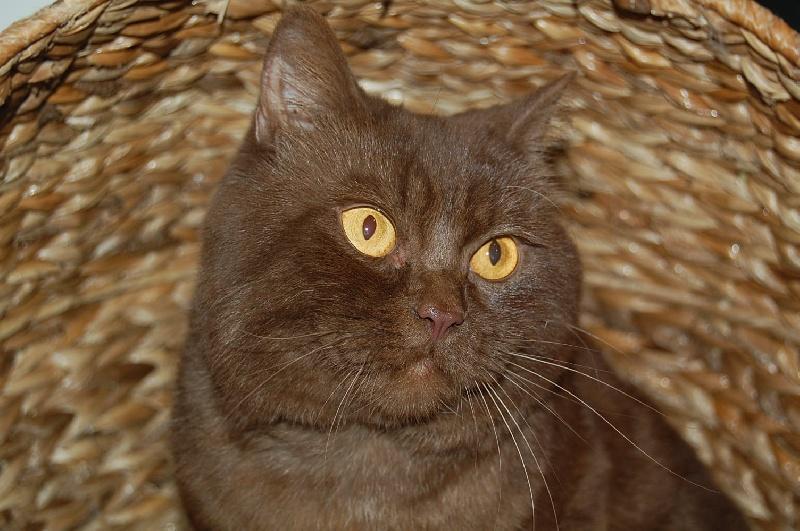 elevage of pretty little cat eleveur de chats british shorthair et longhair. Black Bedroom Furniture Sets. Home Design Ideas