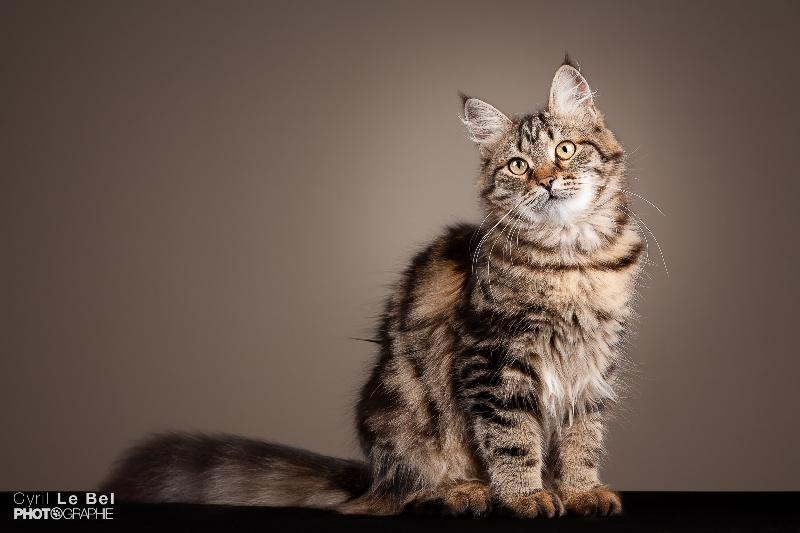 jade du domaine de floux chat de race toutes races en tous. Black Bedroom Furniture Sets. Home Design Ideas