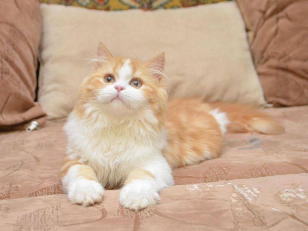 Highland Fold - diamond cats Mikasa