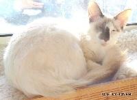 Melina de la tanière des petits lynx