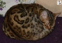 Mélinka cat's eyes bengals