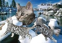 Icy Des Tip Top Bengals