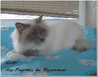 Gato des pagodes de myanmar