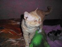 Garfild Kissa