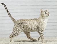 wildcats spirit Lancelot