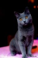 Jelenae Des Bleus D'yttrium Chartreux