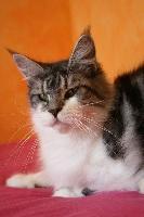 CH. Heroïne De Caval'cats Maine Coon