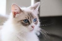 Opale paradoz bleuenn