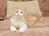 diamond cats Mikasa