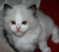 Ragdoll - de Kitten Tale