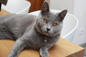 Elevage des bords de lys eleveur de chats chartreux - Mes chats ont des puces ...