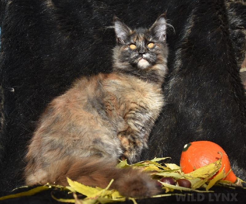 chaton Maine Coon Wild Lynx