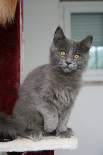 Elevage des littles gargamel eleveur de chats munchkin - Prix chat munchkin ...