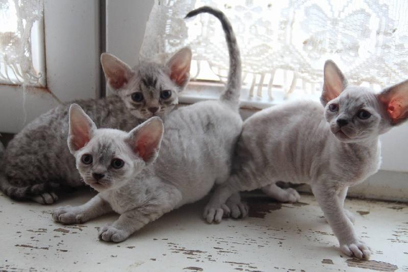 Chatons de la racedevon rexdisponibles sur chatons de france - Chaton devon rex ...