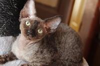 Devon Rex - of my dream's cats